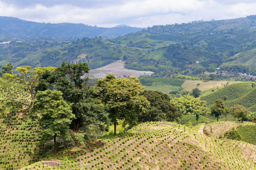 A verdent green valley dotted with newly planted coffee bushes near Chinchina, Colombia. Andes Caffeine Coffee Colombia Farm Latin Manizales Nature Plant South Travel America Arabica Bean Caldas Chinchina Colombian  Drink Landscape Mountain Organic Plantation Robusta Triangle Tropical