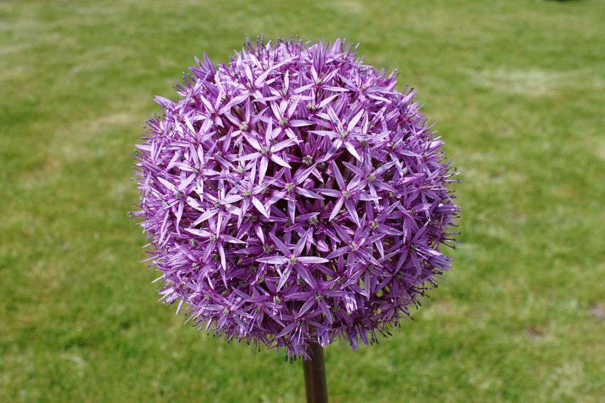 Flower Purple Nature Beauty In Nature Plant Outdoors Flower Head HJB Allium Globemaster Allium Globemaster Purple-green The Week On EyeEm 21 EyeEmNewHere