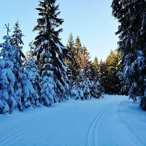 Tree Blue Pine