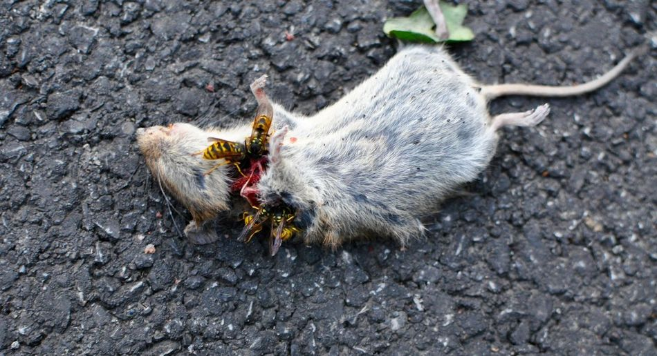 Close-up of wasps feeding on dead mouse