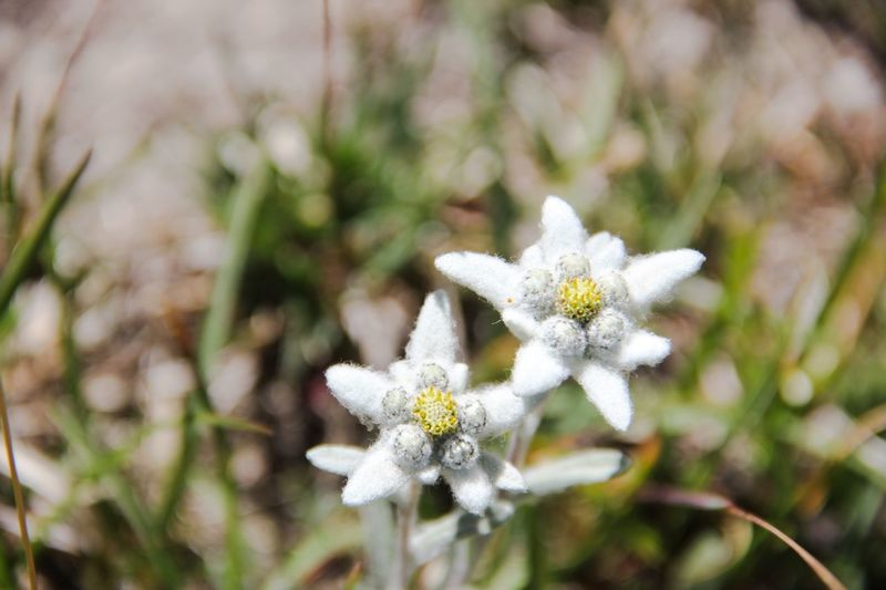 Leontopodium Alpinum Edelweiss Flower Flowers Blooming Blooms Alpine Alpine Flower Selective Focus Mountain Flowers Alpine Flora Alpine Flowers Two Is Better Than One