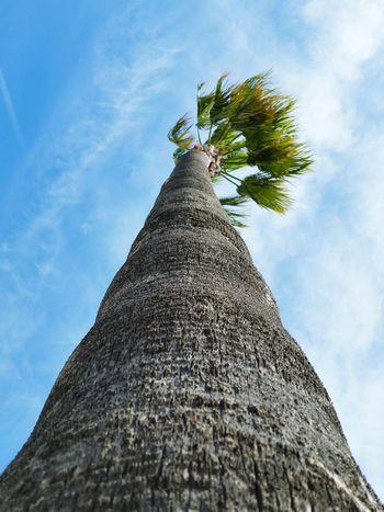 Blue Sky Palm Tree Sky Cloud - Sky Tree Low Angle View Outdoors No People Day Nature Close-up