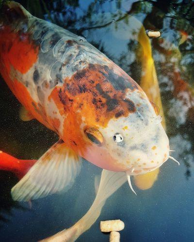 Koi Koi Fish Koi Pond Koi Carp Koifish KoiPond Koi Fishes Koi Carps Aquarium Aquarium Life Fish Tank Fishes Check This Out Scales And Fins Scales