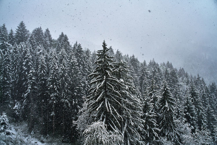 Snowy pine trees in forest during winter