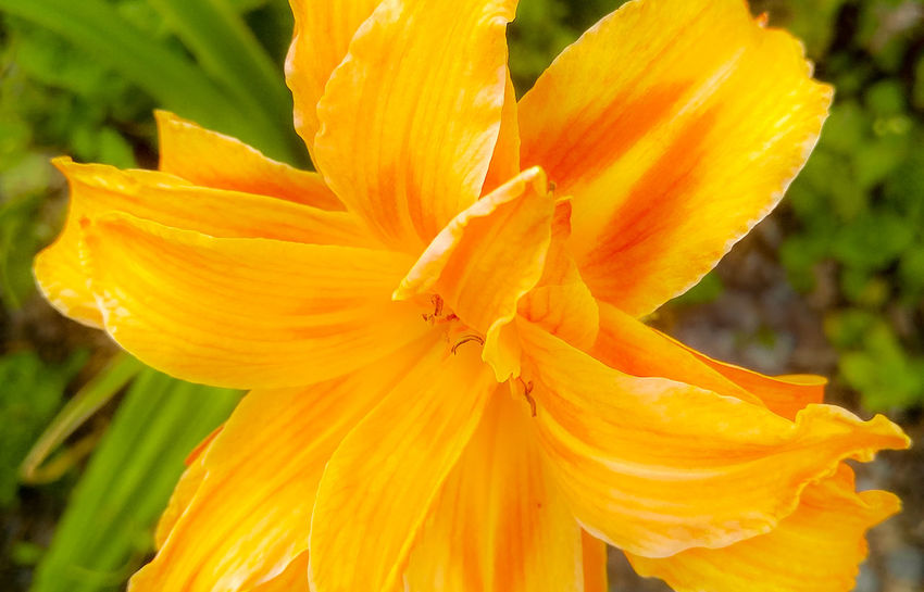 Flower at home 2 Beauty In Nature Blooming Close-up Day Day Lily Flower Flower Head Focus On Foreground Fragility Freshness Growth Nature No People Orange Color Outdoors Petal Plant Stamen Yellow Red Yellow Flowers The Week On EyeEm Changing Colors