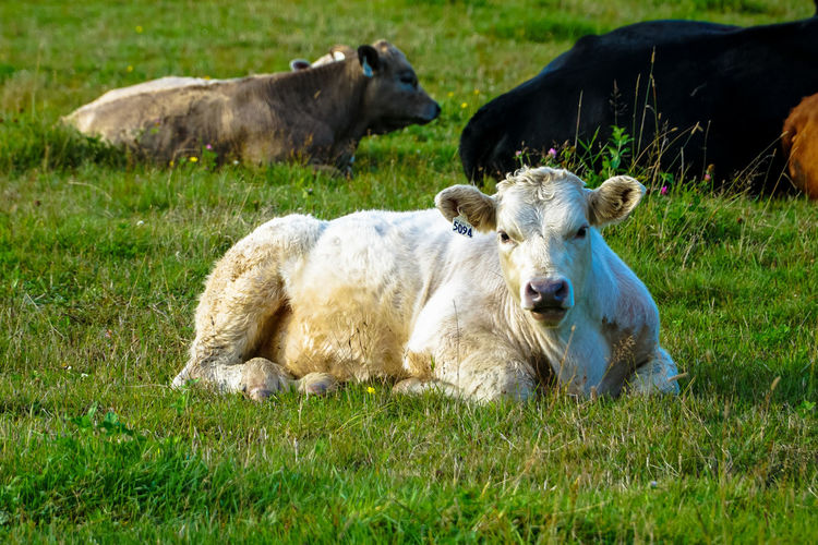 Portrait of cow sitting on grassy field