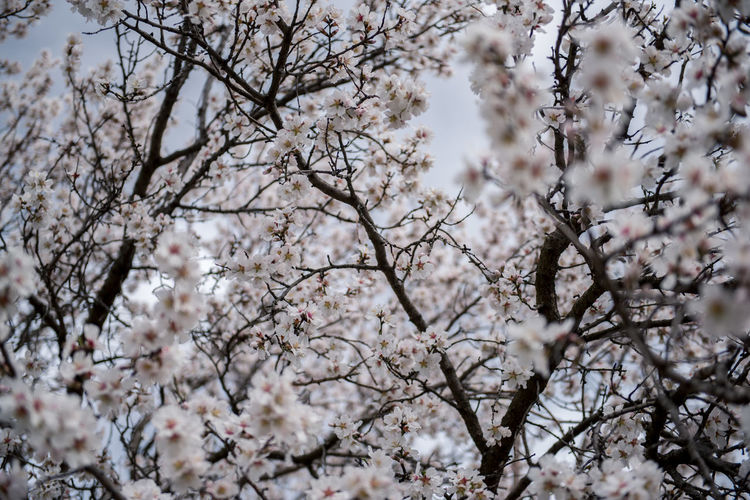 Flowering Plant Plant Flower Freshness Fragility Tree Blossom Cherry Blossom Growth Branch Nature Springtime Cherry Tree No People Outdoors Almond Tree Almond Blossom Blooming Beauty In Nature Low Angle View White Color Vulnerability  Day Backgrounds Flower Head Spring