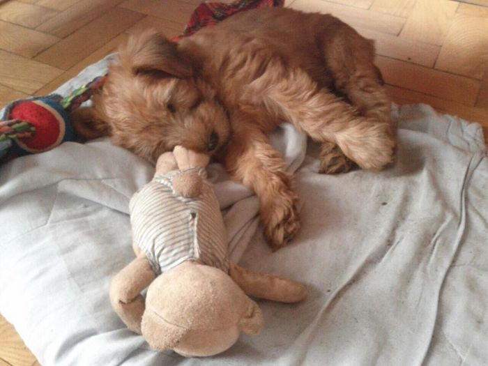 Pets Animal Themes Sleeping High Angle View Two Toys Puppy Sleeping Dog Wheaten Terrier Sweet Dreams