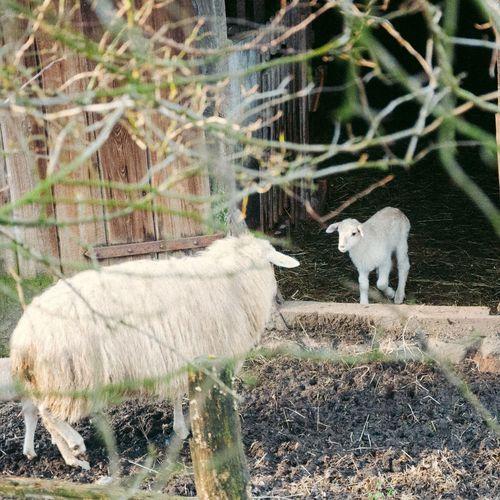 Lambs Lambs Farm Life Farmanimals Country Countrylife Rural Farmlife Rni Rnifilms
