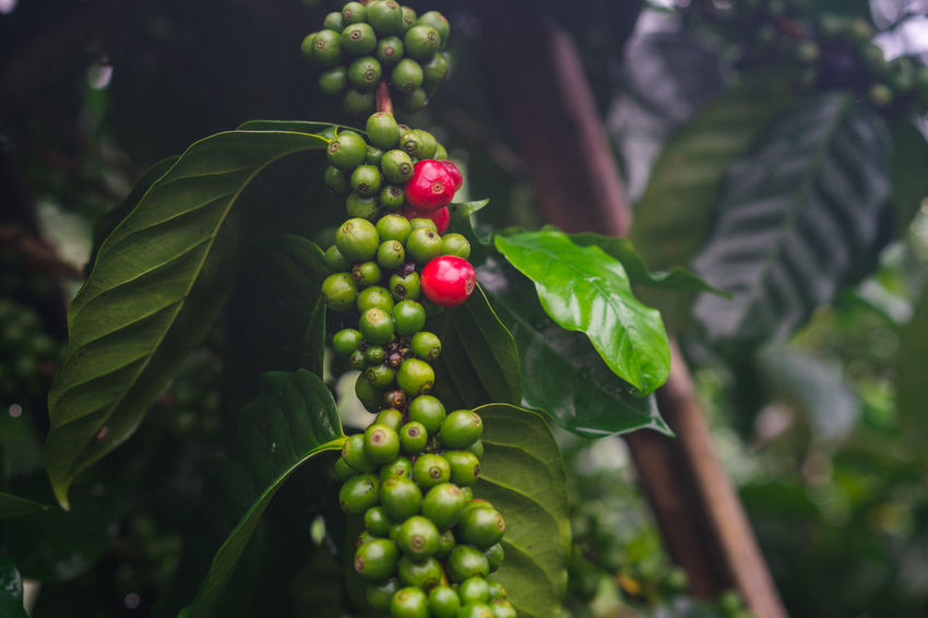 Agriculture Close-up Day Focus On Foreground Food Food And Drink Freshness Fruit Green Color Growth Healthy Eating Leaf Nature No People Outdoors Raw Coffee Bean Red Tree