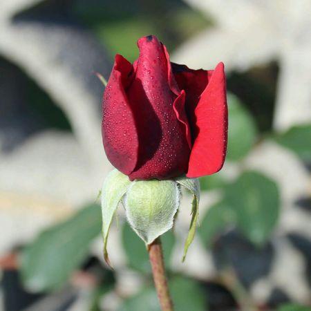 ONE OF THE LAST ROSES IN MY GARDEN! Flowerforfriends Floralperfection Red Rose Eyeemflowerlover