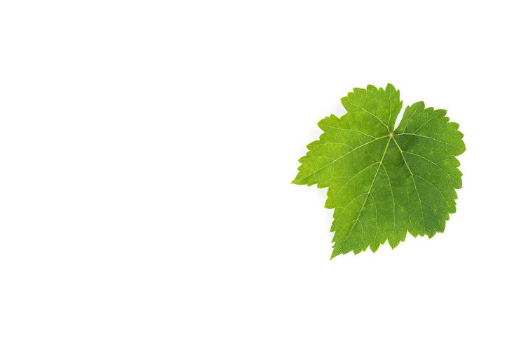 Macro shot of green leaf on white background