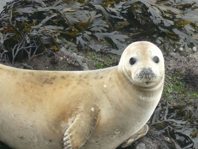 Animals In The Wild Animal Wildlife Seal - Animal Looking At Camera Portrait Sea One Animal Beach Sea Life Aquatic Mammal Day Nature No People Outdoors Seaweed Seaweed At The Beach