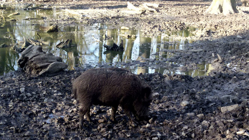 Animal Themes Favorite Places For My Friends 😍😘🎁 Happy Pigs Natural Forest Nature Water Reflections Wild Boar Wisentgehege Springe