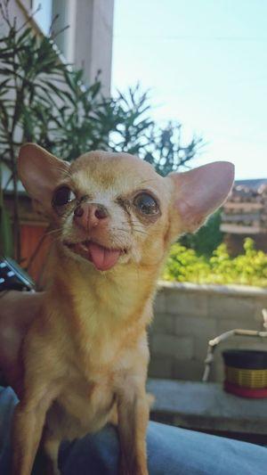 Dog Dog Days Dog Photography Dog Of The Day Dogmodel Dogslife Dog Life Animal Love Animal Portrait Animal Photography Chiuaua Dogs Dogs Of EyeEm The Portraitist - 2017 EyeEm Awards Pet Portraits