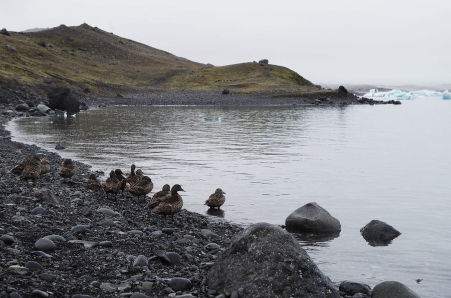 Duck family ashore the glacier lagoon in iceland Climate Climate Change Duck Duckling Ducklings Ducks Glacier Glacier Lagoon Glaciers Iceberg Icebergs Iceland Jökulsárlón Lagoon Lake Landscape Pond Rock Rock Formation Rocks Rocks And Water Rocks On The Shore Shore Shoreline Waterside