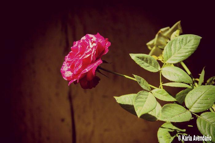 Rouss Urban Gardening Rose🌹 Belleza Natural