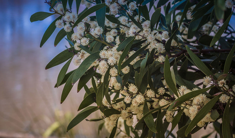 white wattle tree Beauty In Nature Branch Close-up Fragility Green Color Growth Leaf Nature Plant Tree Wattle Flower Wattle Tree