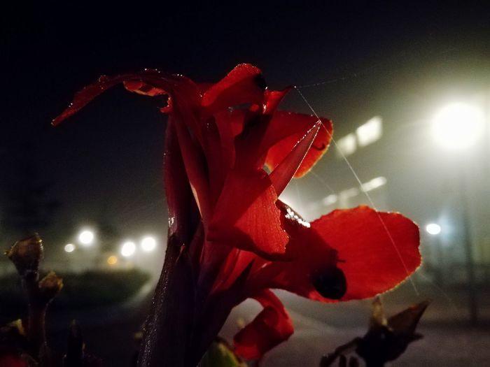 Flower by night