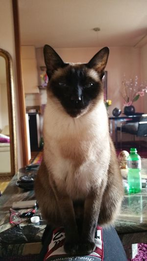 Mary!!! Chat Miaou Siamois Portrait Samsung Galaxy Note 4 Suisse  Annimals
