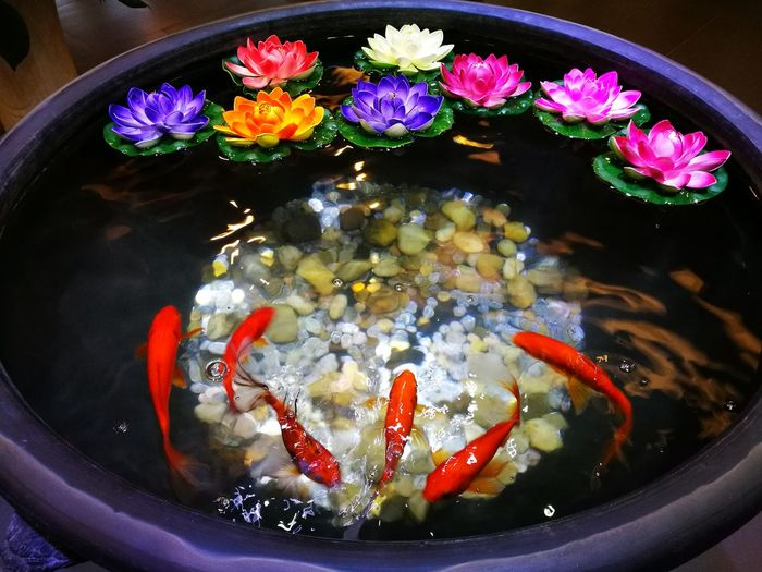 High angle view of koi fish swimming by lily flowers in water