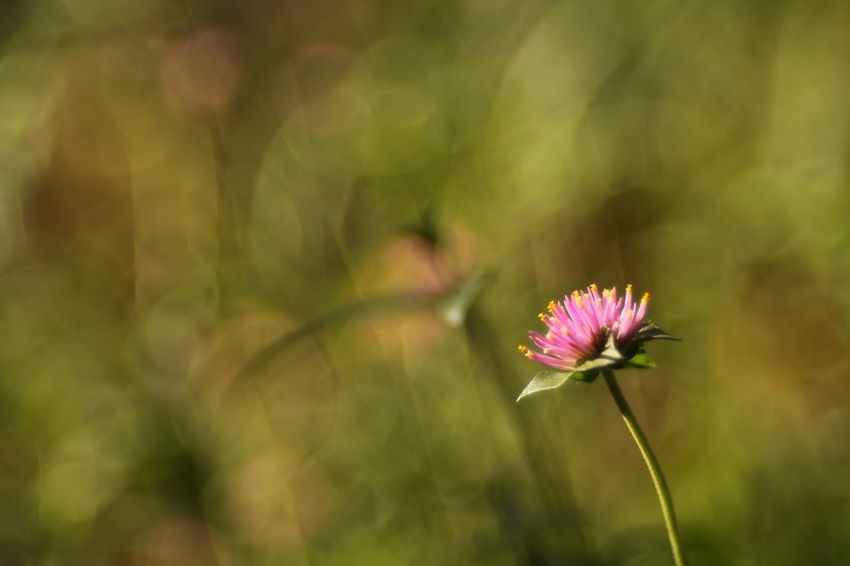 Solitude. EyeEm Nature Lover Flowers Thistle Single Flower Fukui Japan Canon5Dmk3 Meyer-Optik-Görlitz Trioplan100 Soapbubblebokeh