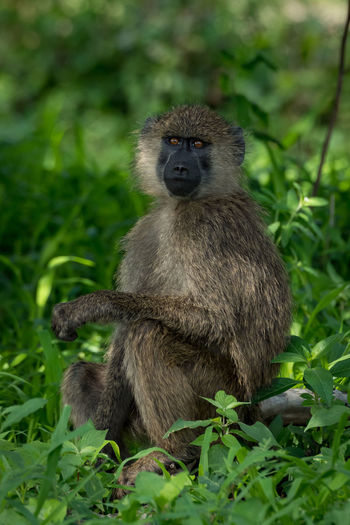 Nature Tanzania Travel Africa Animal Animal Wildlife Animals In The Wild Baboon Day Focus On Foreground Forest Green Color Land Looking Mammal Nature No People Olive Baboon One Animal Outdoors Plant Primate Safari Sitting Vertebrate Wildlife