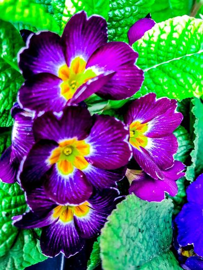 purple Pansy flower blossoms with fresh looking green leaves Purple Flowers With Green Leaves Pansy Green Leaves And Purple Blossom Green Leaves From A Pansy Green Leaves Purple Pansy Blossom With Fresh Green Leaves Purple Color Purple Purple Flower Gottes Freund Und Aller Welt Feind ApoSKAlypse Purple Pansy Blossom Purple Pansy Flower Pansy Flowers Pansy Flower Pansy Flower Beauty In Nature Nature Petal Fragility Growth Flower Head Freshness Outdoors Plant Leaf Close-up Iris - Plant Blooming Day