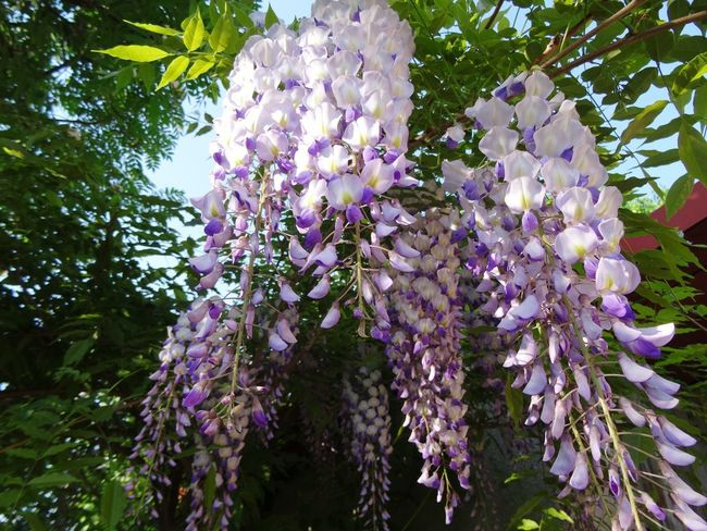 Glicynia Glicynia Nature Nature Photography Beauty In Nature Lbeauty Photography Landscape Garden Photography Summer Garden Fruit Garden Colors Green Color Fruit Tree Tree Flower Branch Springtime Flower Head Scented Purple Blossom Botany Wisteria