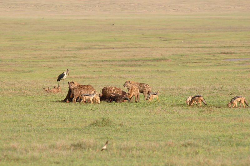 Foxes and hyenas eating dead animal on field