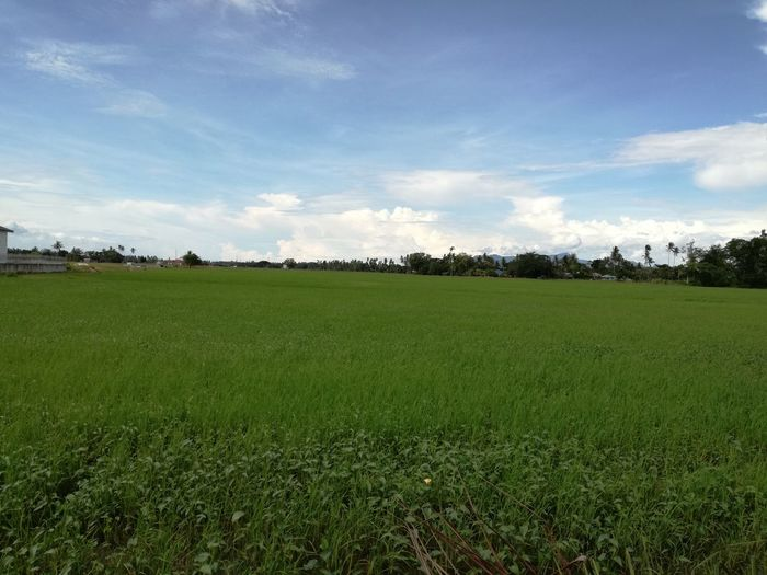 Field Nature Rice Paddy Sky