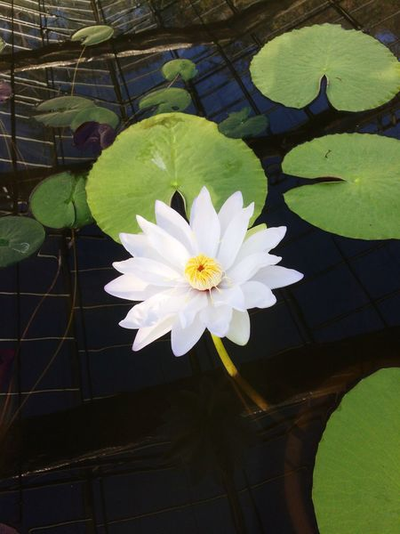 White water lily Flower Water Lily Lotus White Water Lily White Flower
