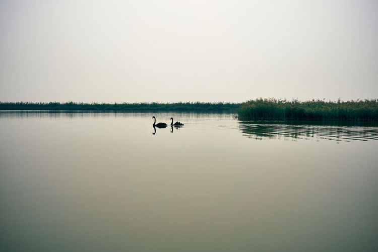 Romantic swan with lake Black Swan Black Swans Black Swan Swimming Swans ❤ Water Reflections Animal Themes Beauty In Nature Bird Black Swan On Water China Lake Nature No People Outdoors Reflection Scenics Swan Swimming Tranquil Scene Tranquility Tree Water Water Bird Water Surface Waterfront