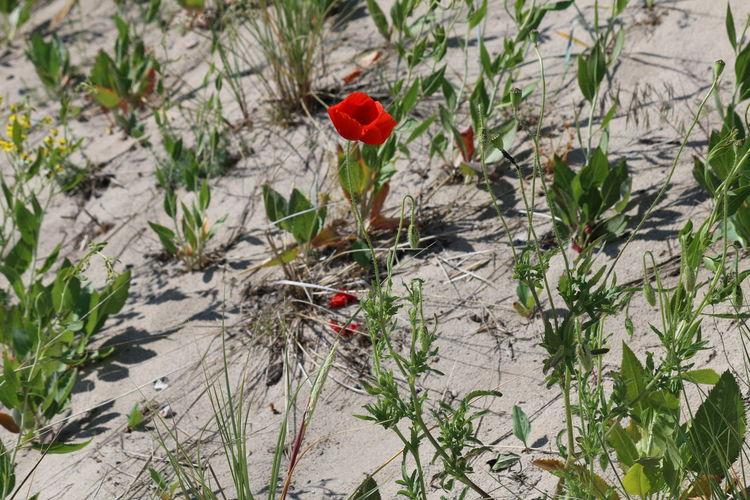 Mohn Am Strand Mohnblume Mohnblüte Pflanze  Pflanzenwelt Strandblüte Strandboden Wiese  Wisenblumen Mohn Mohnblumenfeld Strandblumen