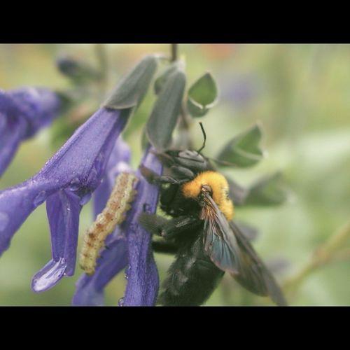 unidentified moth with a carpenter bee on salvia guaranitica Caterpillar Carpenter Bee Pollinators Rain