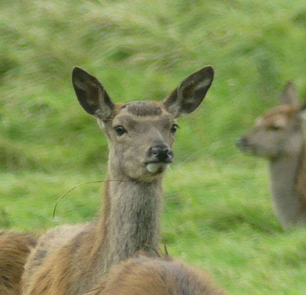 Animal Wildlife Animals In The Wild Animal Themes Mammal Grass Animal Deer One Animal Looking At Camera Portrait Nature Ear No People Outdoors Day Eating Close-up