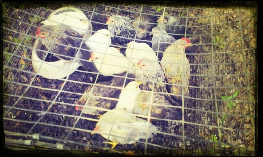Backyard Chickens James Island