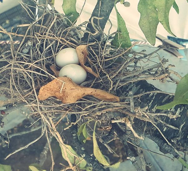 Eggs... Nature Close-up Baby Bird🐣 Close-up Dry Leaf Nature Fragility Branch Brown Tranquility Day Baby Birds Baby Bird In My Tree Close-up Dry Leaf Nature Fragility Branch Brown Tranquility Day Baby Birds Close-up