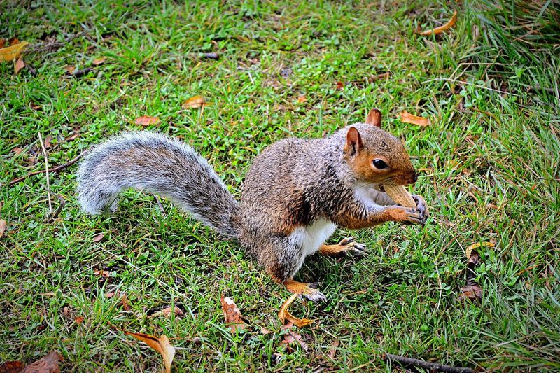 Squirrel Grey Squirrel Feeding Squirrels Feeding Animals Feeding  Grass One Animal Animal Themes Wildlife Animals In The Wild Field Green Color Grassy Day Nature Zoology Focus On Foreground No People Grassland Tranquility Green Beauty In Nature