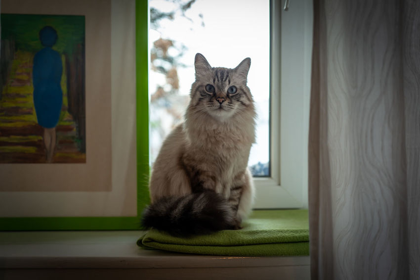 Indoor photo of Sacred Birman cat Cat Domestic Domestic Cat Pets Domestic Animals Feline Animal Themes Mammal Animal One Animal Window Vertebrate Indoors  Sitting No People Portrait Looking Full Length Glass - Material Looking At Camera Whisker Maine Coon Cat Sacred Birman Cat