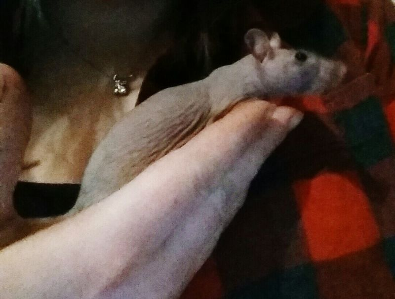 Love That Hairless Style... Rats(: Hairlessrat Cuddle Buddies Petlover My World Rats