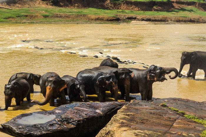 Animal Themes Group Of Elephants Baby Elephant Bathing Time Pinnawala Elephant Orphanage SriLanka