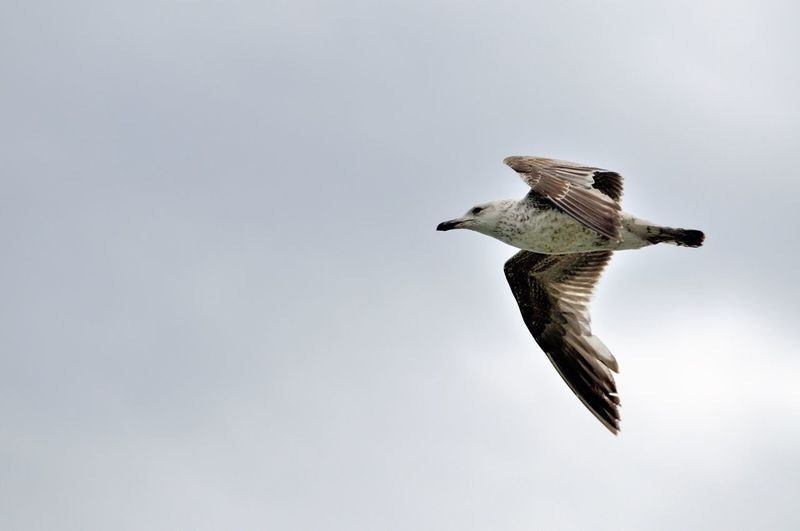 Close-up of eagle flying against clear sky