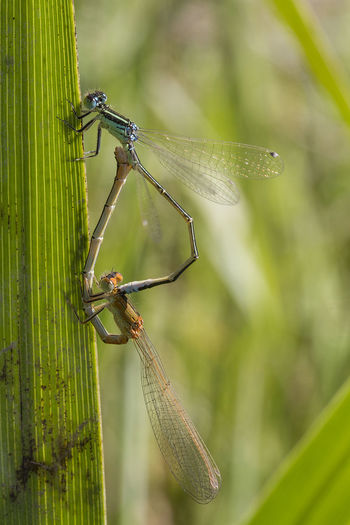 Agrion Breeding Animal Themes Animal Wildlife Animals In The Wild Blue Close-up Coenagrionidae Damselfly Day Female Focus On Foreground France Insect Male Nature No People One Animal Orange Color Outdoors