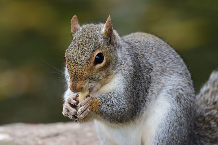 Close up portrait of a grey squirrel eating a nut