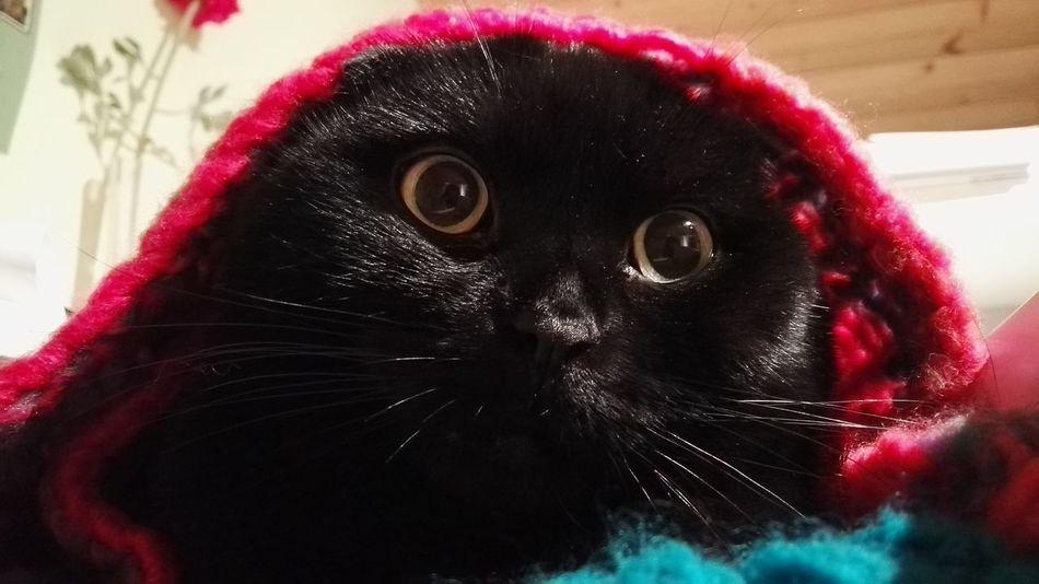 #blackcat #cat #Cuddles #cute #scottishfold Animal Hair Animal Themes Black Color Close-up No People Pets Pink Color Staring