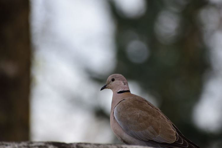 Bird Animal Themes Animal Vertebrate Animal Wildlife Animals In The Wild One Animal Mourning Dove Perching Focus On Foreground Dove - Bird Day No People Close-up Outdoors Selective Focus Sparrow Looking Nature Looking Away