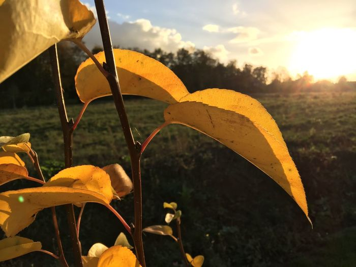Sunset Autumn Sunset Nature Leaf Growth Outdoors Close-up Yellow Day Beauty In Nature No People EyeEmNewHere