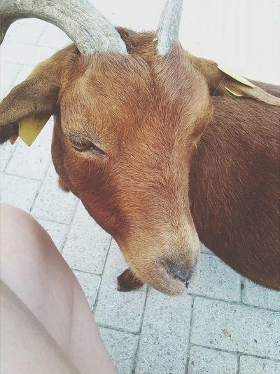 Ginger goat?- Ginger Ginger Goat Goat Farm