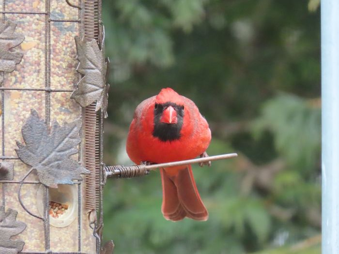 Cardinal red bird male looking at camera at the feeder birdwatching birds of EyeEm focus on the foreground outdoors beauty in nature Animal Themes Red Nature Close-up